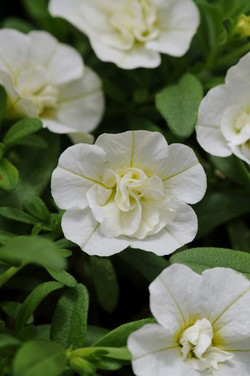 Calibrachoa Double Compact White