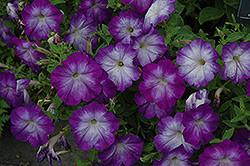 Petunia Bluerific