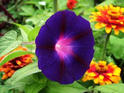 Morning Glory Knowlians Black