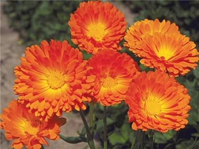 Calendula Balls Orange