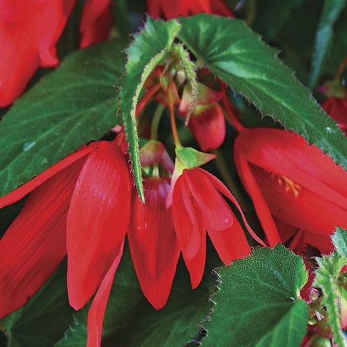 Begonia Santa Cruz