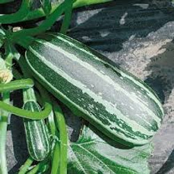 Cucumber Bush Baby F1