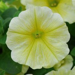 Petunia Headliner Yellow