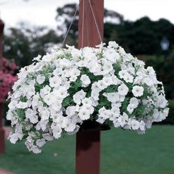 Petunia Easy Wave White