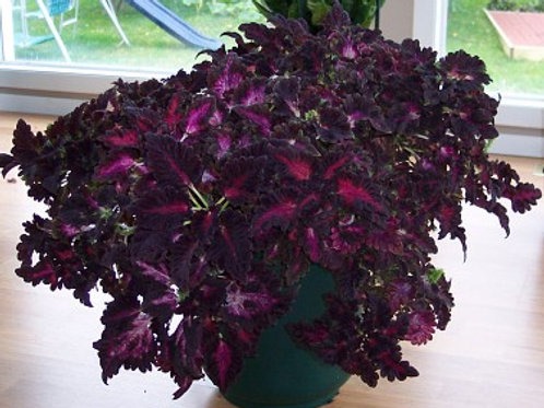 Coleus Black Dragon