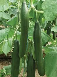 Cucumber English Long