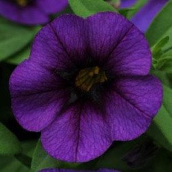 Calibrachoa Royal Blue