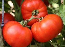 Tomatoes Earliana