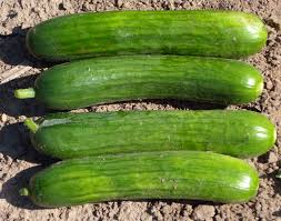 Cucumber Improved Long Green