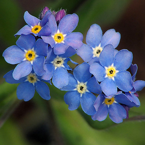 Forget Me Not Indigo Blue