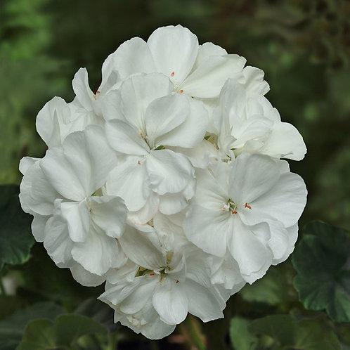Geranium Sunrise Zonal White