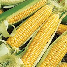 Corn Early Golden Bantam