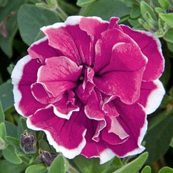 Petunia Sweet Sunshine Red