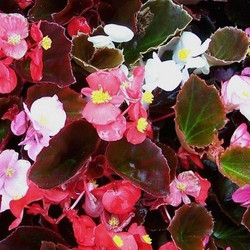 Begonia Yang Mix