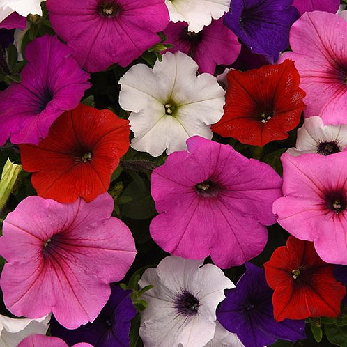 Petunia Easy Wave Formula Mix