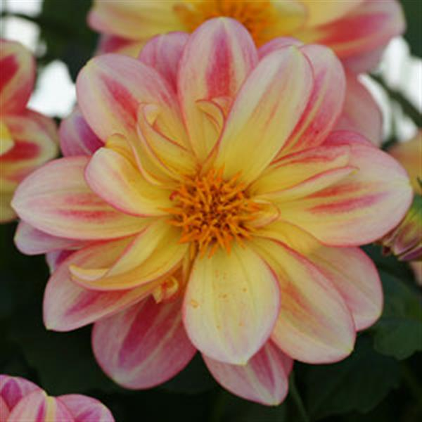Dahlia Pink with Lemon