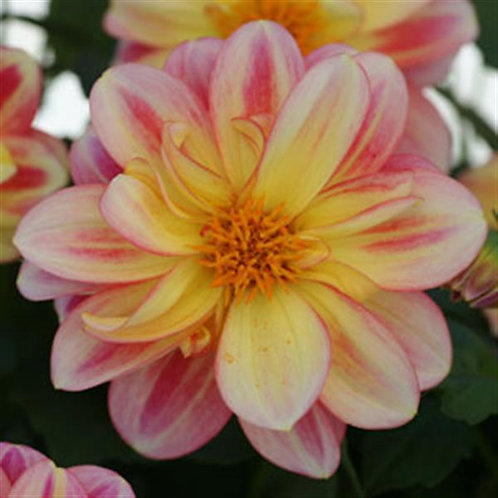 Dahlia Dalay Pink with Lemon