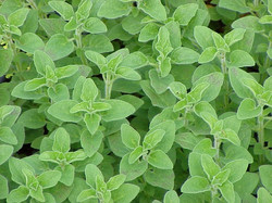 Herb Oregano