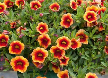 Calibrachoa Neo Orange & Red Eye