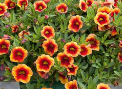 Calibrachoa Neo Orange & Red Eye