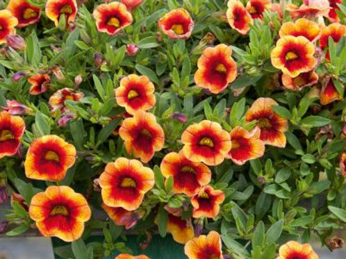 Calibrachoa Mini Famous Neo Orange & Red Eye