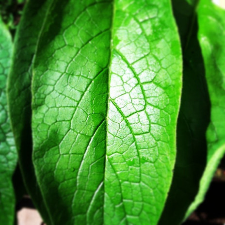 comfrey leaf.jpg