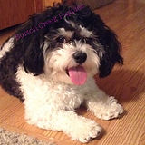 Lucy, dam of the Teddy Bear Puupy litter