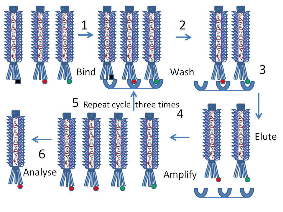 Phage_display_protocol