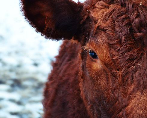 cow-animal-brown-animals-67236.jpeg