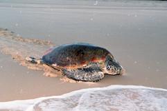 Turtle sandy capejpg.jpg