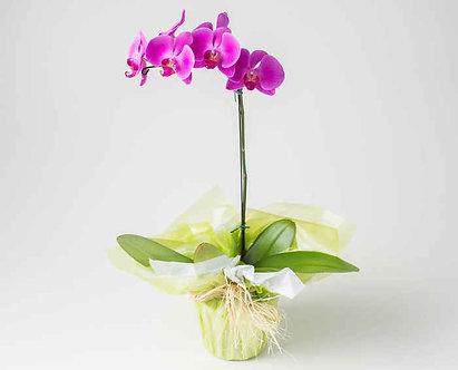 Orquídea Fhalaenópsis lilas
