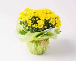 Vaso de mini Margaridas Amarelas