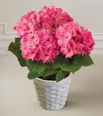 Vaso de Hortencia