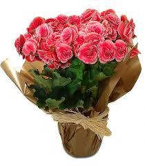 Vaso de Begônia rosa