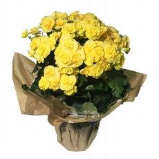 Vaso de Begônia amarela