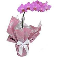 Orquídea Fhalaenopsis lilas