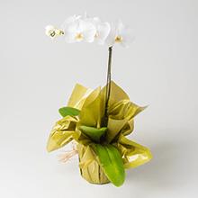 Orquídea fhalaenopsis branca