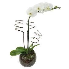 Orquídea Fhalaenopsis branca no vidro