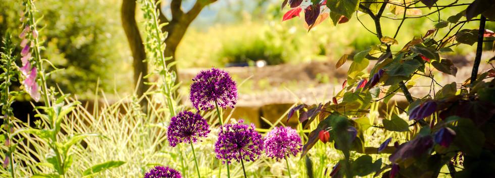 allium purple sensation, cercis forest pansy