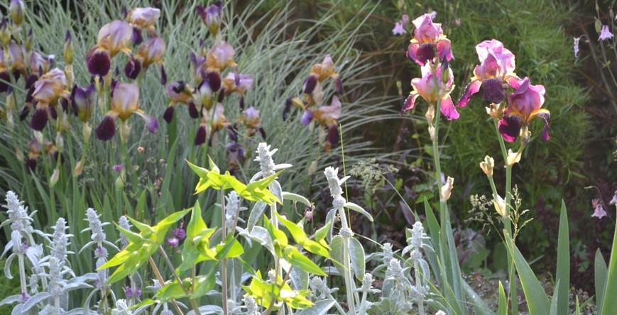 miscanthus morning light, stachys  byzantina , iris