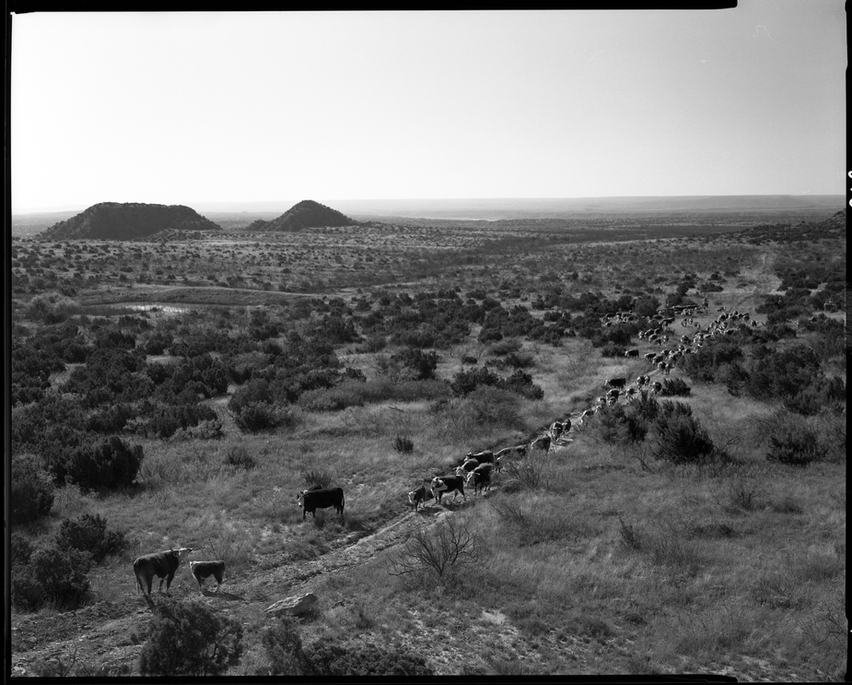 CattleHerded TexasPanhandle.jpg