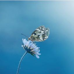 Vlinder ceremonie