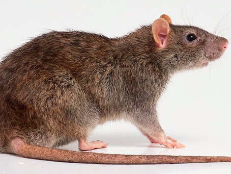 How to Spot Mice or Rats in Your Home