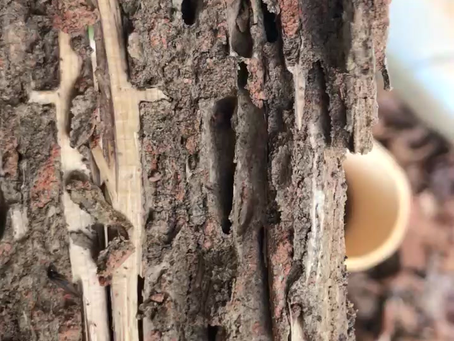 Video of Active Termites on a property G & G treated