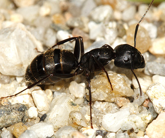 In their natural environment, carpenter ants nest in dead trees and other dead wood. This enhances decay, which has ecological benefits. However, the ant achieves pest status when a colony invades the wood of a house or other structure, damaging its structural integrity.