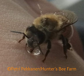 bee on arm