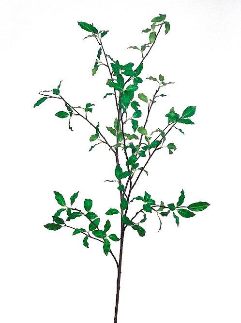 Pittosporum Branch