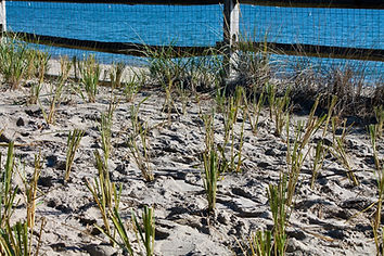 beach grass planting 3.jpeg