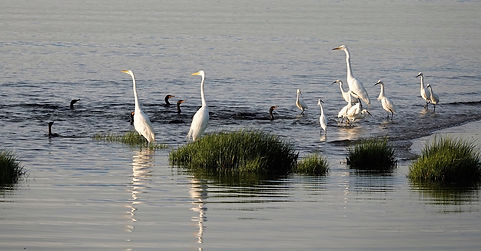 Egrets.jpeg