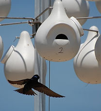 Purple_Martin_Entering_Gourd_at_Greenwic